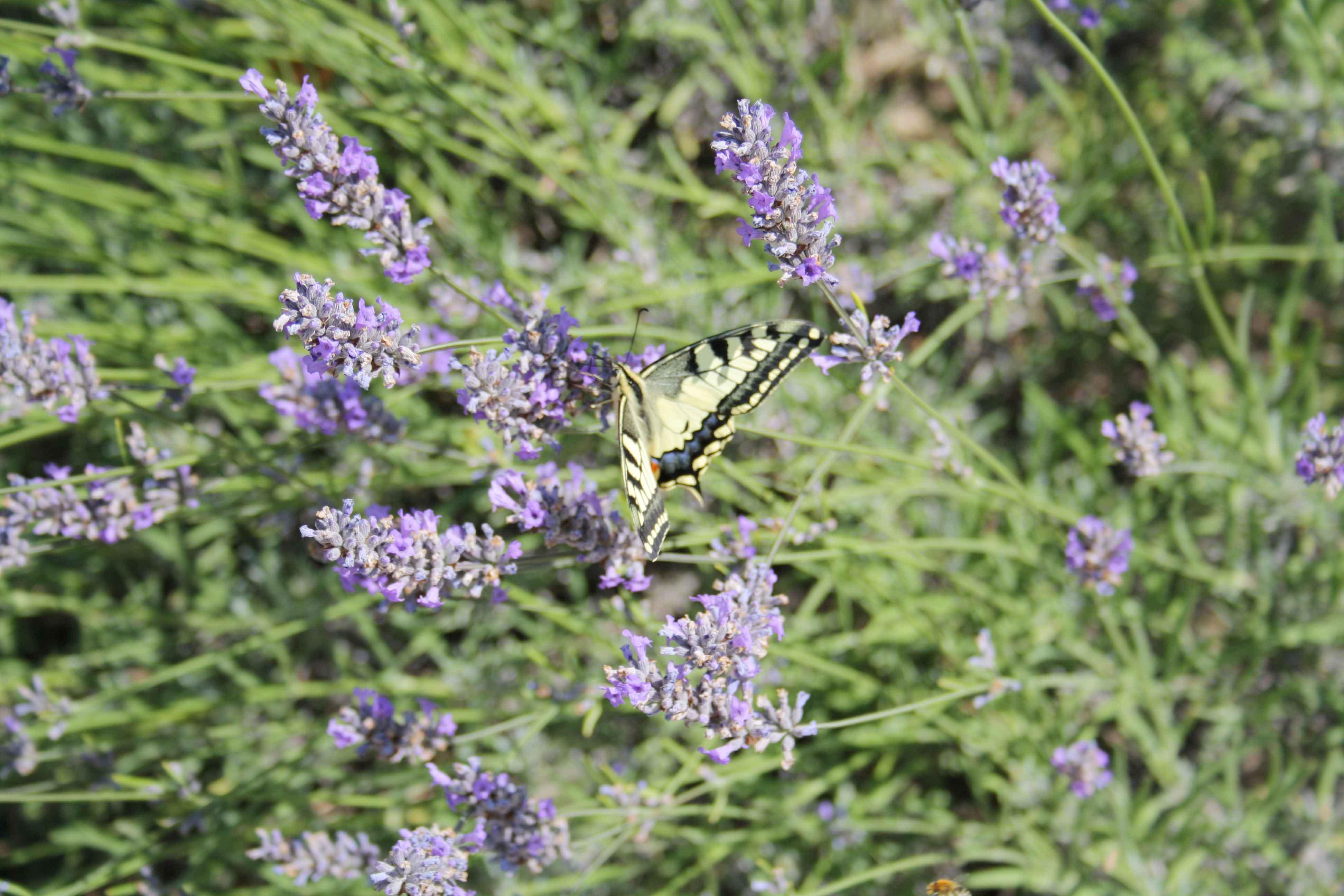 Les papillons dans la lavande d'autrefois