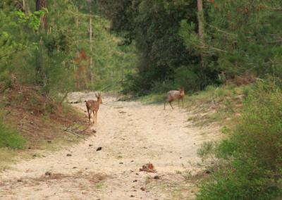 Les rencontres avec des chevreuils en forêt